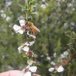 マヌカの花とミツバチ