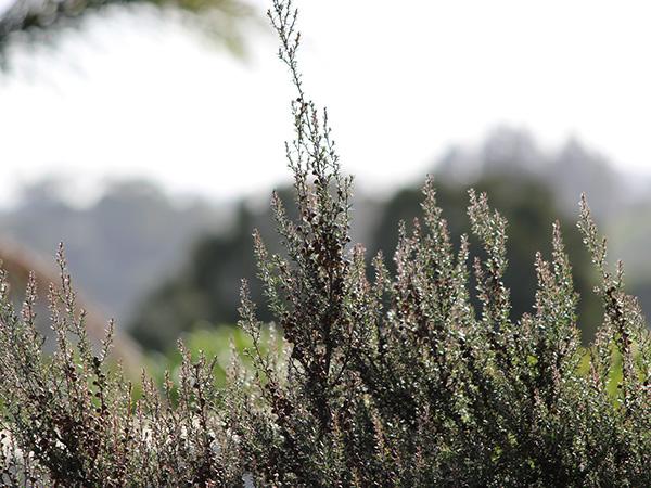 マヌカ花のつぼみ